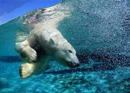 Swimming with the Polar Bears